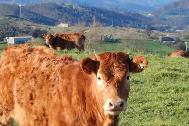 Polski sektor wołowiny: W jakiej jest kondycji?