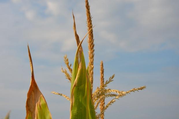 Wybór odmiany kukurydzy determinuje rozwój roślin