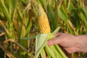 Które czynniki są najważniejsze w produkcji kukurydzy?
