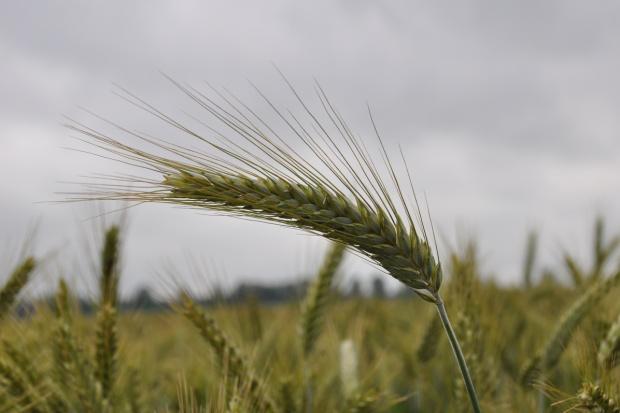 Mieszany miesiąc notowań surowców rolnych