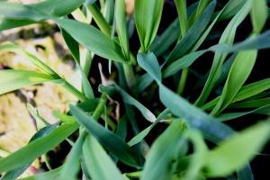 Pszenica po pszenicy – jaką przyjąć strategię ochrony roślin