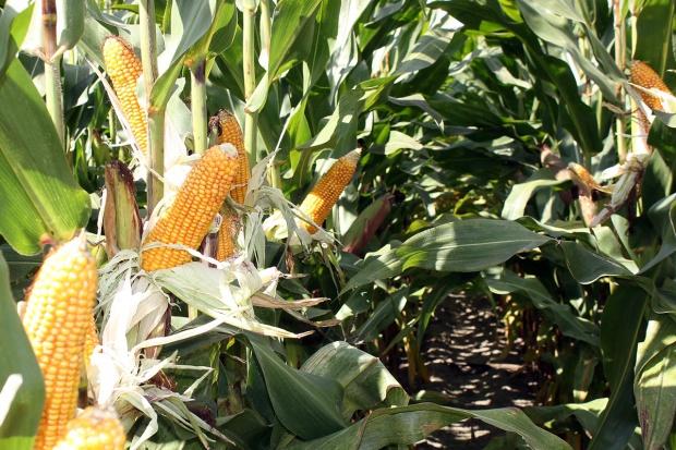 Mniej kukurydzy ziarnowej, więcej kiszonkowej