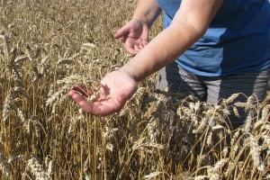 Ceny zbóż: W kilku skupach podrożała pszenica konsumpcyjna