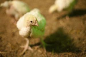 Krajowa Rada Drobiarstwa: Polski drób jest bezpieczny