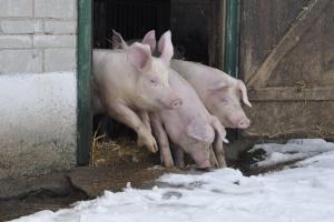 Pomoc dla producentów świń z Podlasia oraz właścicieli stawów rybnych