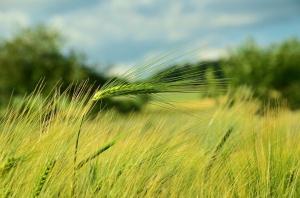Ceny amerykańskich zbóż ponownie w górę