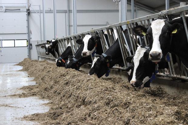 Żywienie krów mlecznych w laktacji