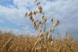 Zalety i wady uprawy owsa