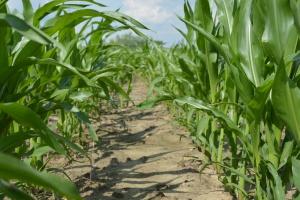 Wczesność kukurydzy FAO ma znaczenie