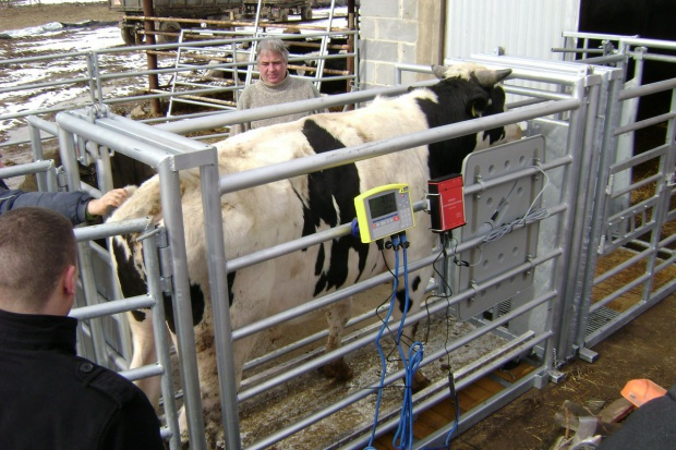 Elektroniczny system ważenia i identyfikacji zwierząt