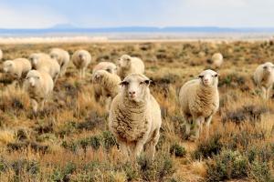W 2015 r. ceny owiec były wyższe niż przed rokiem