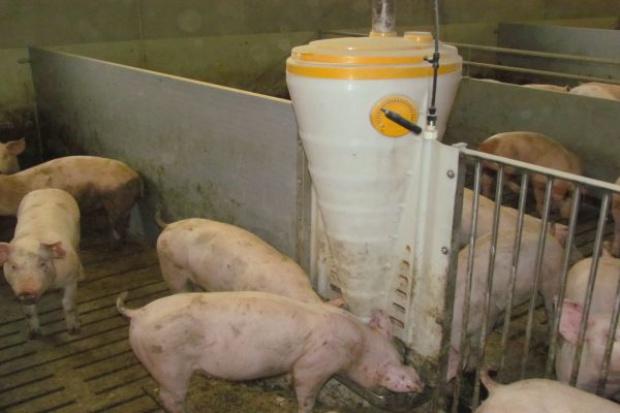 W żywieniu których grup świń stosować makuch rzepakowy?