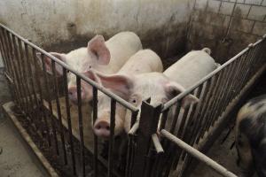 Najniższy poziom cen wieprzowiny został już osiągnięty