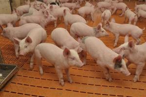Jakie dawki ekstrudowanej soi zastosować w tuczu świń