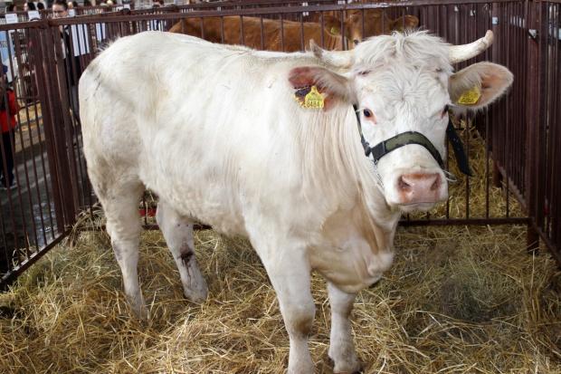 Ceny w skupach bydła stabilne