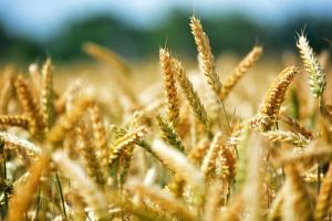 Silny spadek cen pszenicy