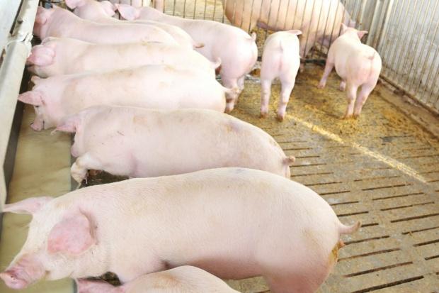 Rolniczy OPZZ: Produkcja trzody chlewnej największym problemem