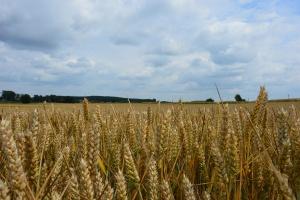 Czy jest szansa na wzrost cen pszenicy?