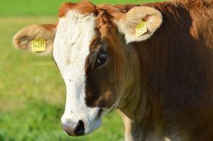 MRiRW chce wspomóc producentów mleka i wieprzowiny kwotą 57 mln euro