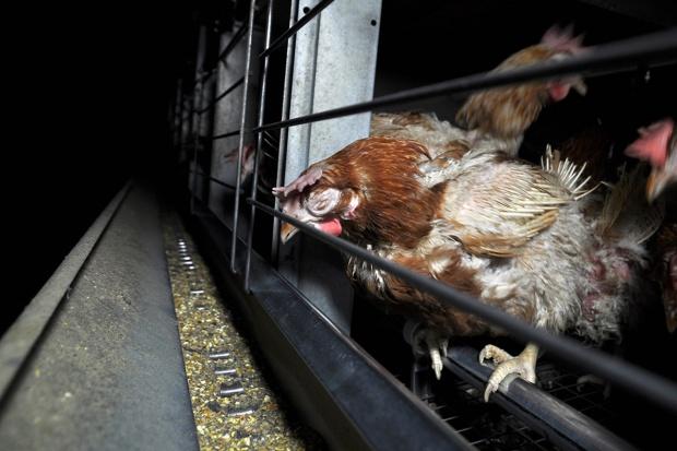 Gigant spożywczy rezygnuje z jaj z chowu klatkowego