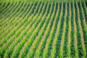 Ostry spadek kukurydzy w Paryżu