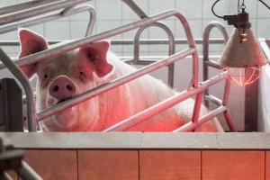 Unijny rynek wieprzowiny w 2015 r.