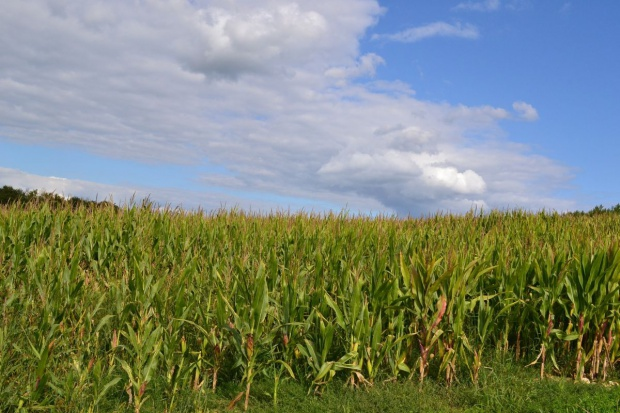 Kukurydza na MATIF znowu dołuje