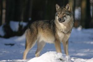 Warmińsko-mazurskie: 3,9 mln zł wypłacono w br. za szkody zwierząt chronionych