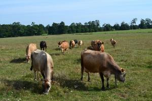 Znaczny spadek pogłowia krów w Nowej Zelandii