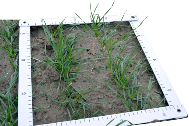 Kondycja zbóż przed zimą