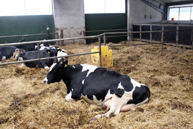 Z początkiem roku podrożały krowy