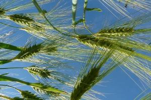 Słaby początek roku na rynku zbóż
