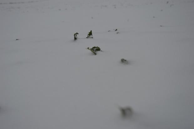 Oziminy bezpieczne pod śniegiem