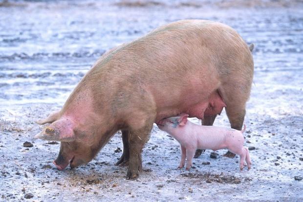 ARR przyjmuje już wnioski o dopłaty do prywatnego przechowywania wieprzowiny