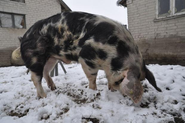 Zimą knury potrzebują bardziej energetycznej paszy