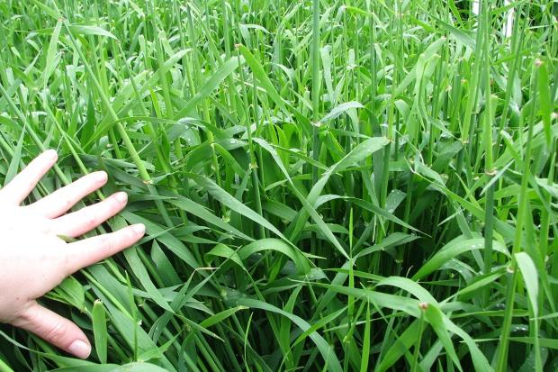 Jak nawozić jęczmień pastewny i browarny?