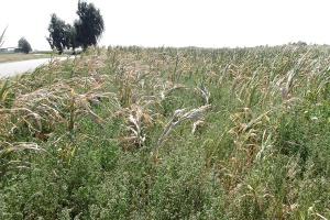 Kiszonki z kukurydzy wątpliwej jakości