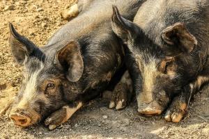 Armenia: Zmarło 10 osób zarażonych wirusem świńskiej grypy