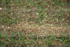 Uszkodzone liście zbóż nie oznaczają wymarznięć