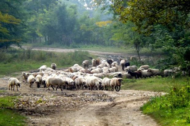 IERiGŻ-PIB: 2015 r. lepszy rok dla producentów żywca baraniego