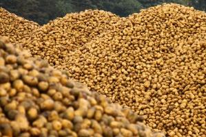 IERiGŻ: Ziemniaki będą drożeć