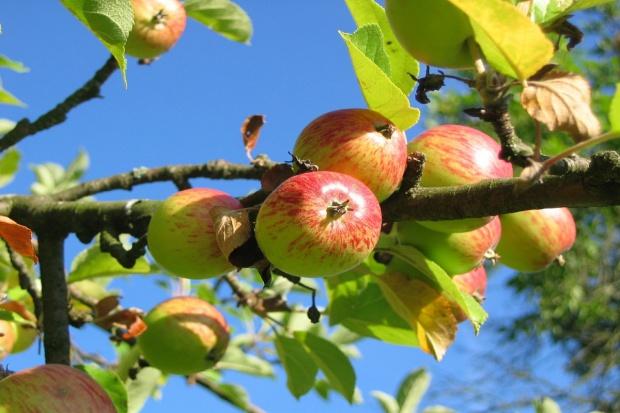 USA ułatwią import jabłek i gruszek z 8 krajów UE