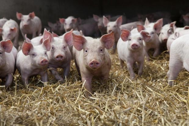 Ukraina: Spadek pogłowia zwierząt i produkcji zwierzęcej