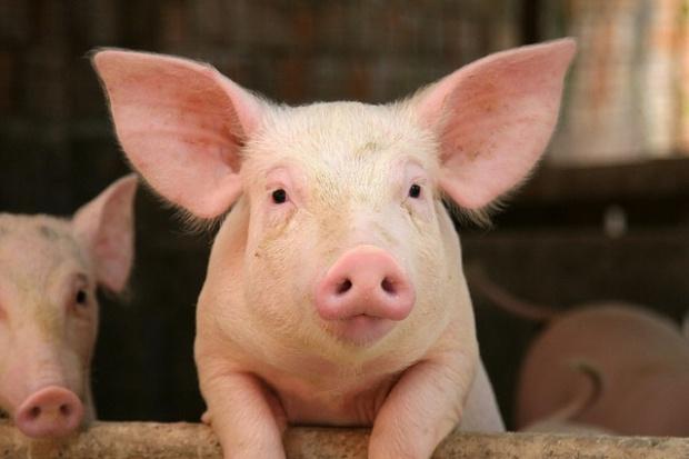 Nieznaczna poprawa na rynku świń