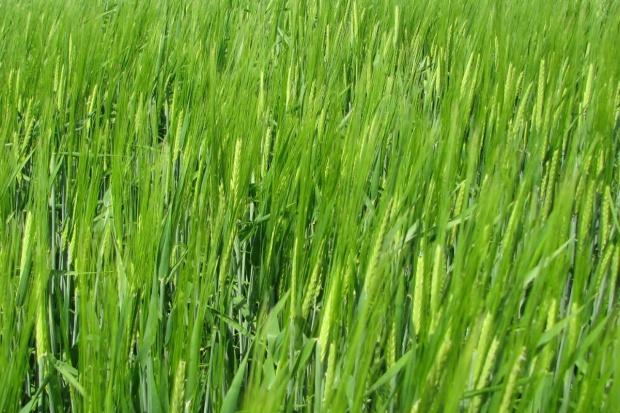 Nowe odmiany zbóż jarych zarejestrowane w 2016 r.