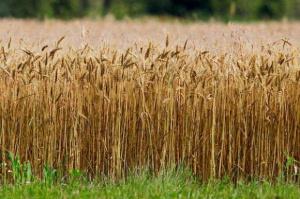 Ceny zbóż w skupach poszły w dół
