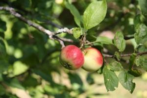 Jurgiel liczy, że część jabłek z nowych zbiorów wyeksportujemy do USA