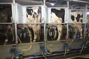 Terapia krów zasuszanych - sposób na mastitis