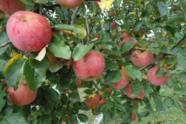Ekspert: Polska za mało uwagi poświęca eksportowi jabłek do Europy