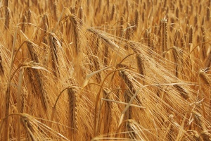 Giełdy krajowe: Więcej sprzedających niż kupujących zboża